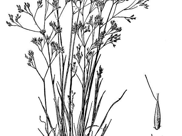 Hairgrass (Aira) https://www.sagebud.com/hairgrass-aira/