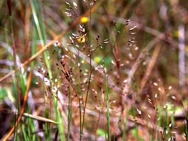 Hairgrass (Aira) https://www.sagebud.com/hairgrass-aira