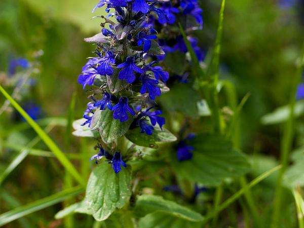 Blue Bugle (Ajuga Genevensis) https://www.sagebud.com/blue-bugle-ajuga-genevensis