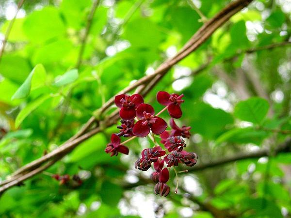 Chocolate Vine (Akebia) https://www.sagebud.com/chocolate-vine-akebia