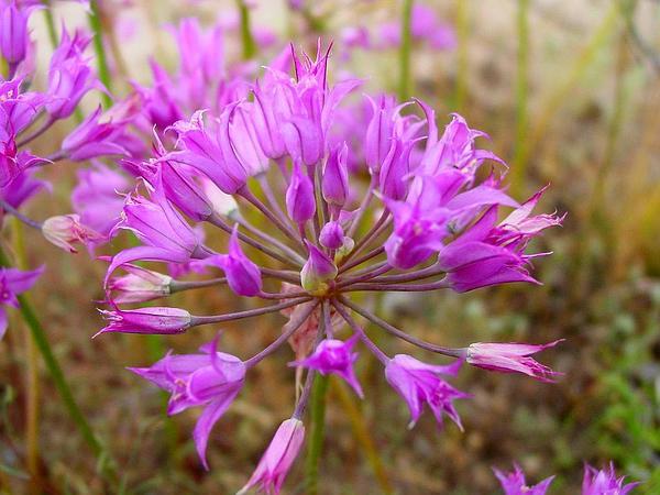 Tapertip Onion (Allium Acuminatum) https://www.sagebud.com/tapertip-onion-allium-acuminatum