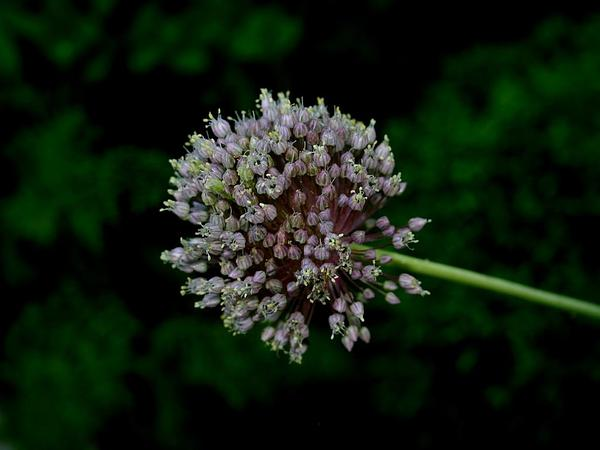 Broadleaf Wild Leek (Allium Ampeloprasum) https://www.sagebud.com/broadleaf-wild-leek-allium-ampeloprasum