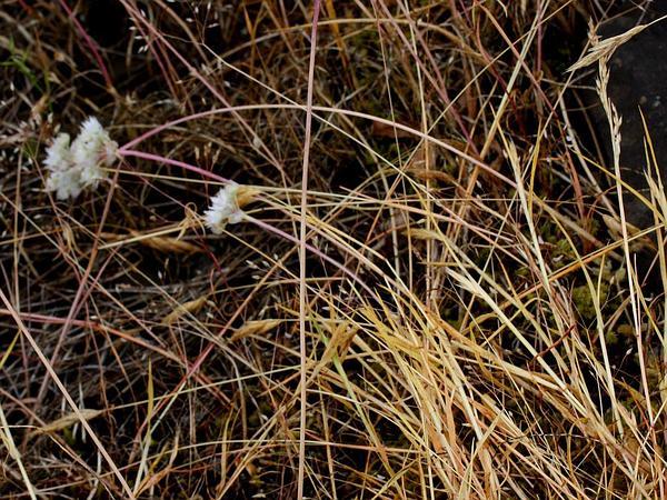 Narrowleaf Onion (Allium Amplectens) https://www.sagebud.com/narrowleaf-onion-allium-amplectens