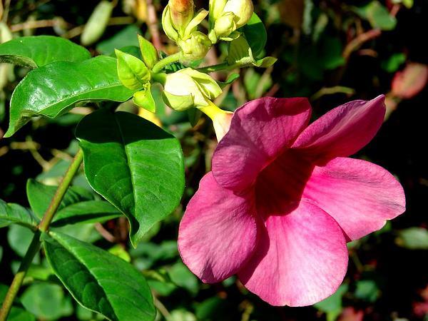 Purple Allamanda (Allamanda Blanchetii) https://www.sagebud.com/purple-allamanda-allamanda-blanchetii