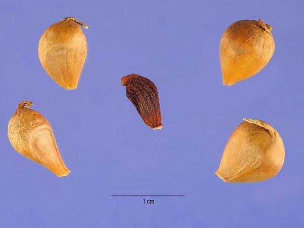 Meadow Garlic (Allium Canadense) https://www.sagebud.com/meadow-garlic-allium-canadense