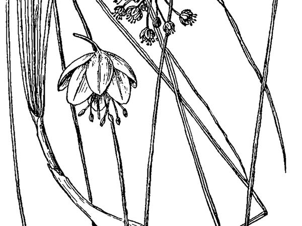 Nodding Onion (Allium Cernuum) https://www.sagebud.com/nodding-onion-allium-cernuum