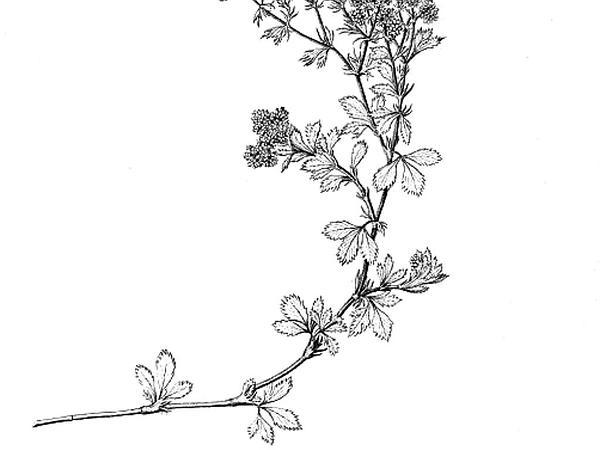 Lady's Mantle (Alchemilla) https://www.sagebud.com/ladys-mantle-alchemilla