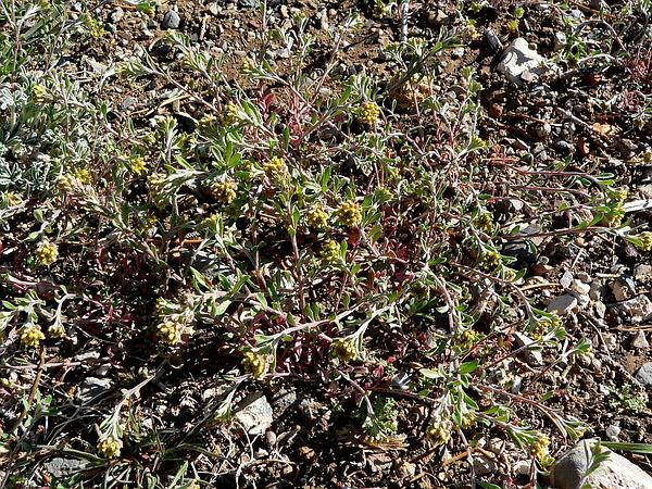 Desert Madwort (Alyssum Desertorum) https://www.sagebud.com/desert-madwort-alyssum-desertorum