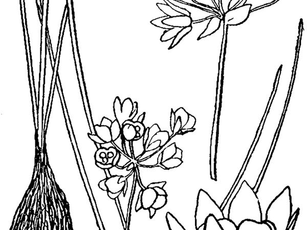Drummond's Onion (Allium Drummondii) https://www.sagebud.com/drummonds-onion-allium-drummondii