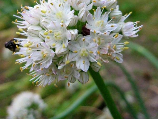 Welsh Onion (Allium Fistulosum) https://www.sagebud.com/welsh-onion-allium-fistulosum