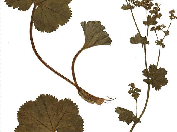 Thinstem Lady's Mantle (Alchemilla Filicaulis) https://www.sagebud.com/thinstem-ladys-mantle-alchemilla-filicaulis/