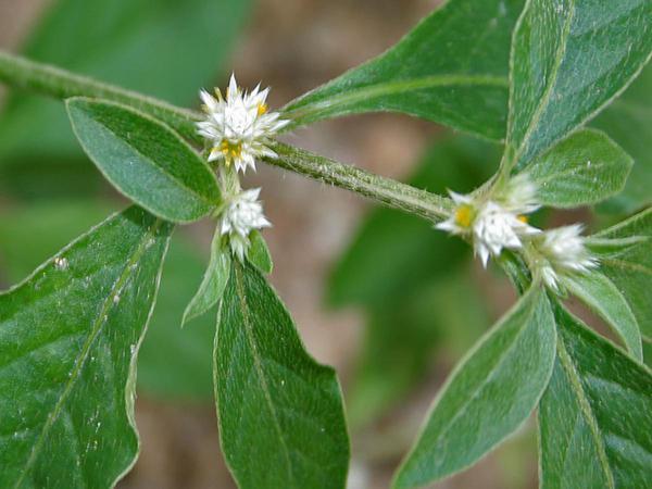 Sanguinaria (Alternanthera Ficoidea) https://www.sagebud.com/sanguinaria-alternanthera-ficoidea