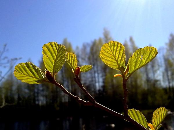European Alder (Alnus Glutinosa) https://www.sagebud.com/european-alder-alnus-glutinosa