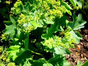 Smooth Lady's Mantle