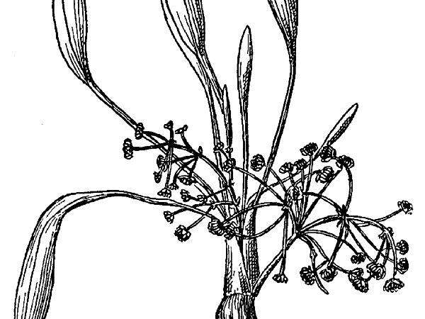 Narrowleaf Water Plantain (Alisma Gramineum) https://www.sagebud.com/narrowleaf-water-plantain-alisma-gramineum/