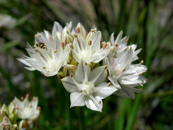Redskin Onion (Allium Haematochiton) https://www.sagebud.com/redskin-onion-allium-haematochiton