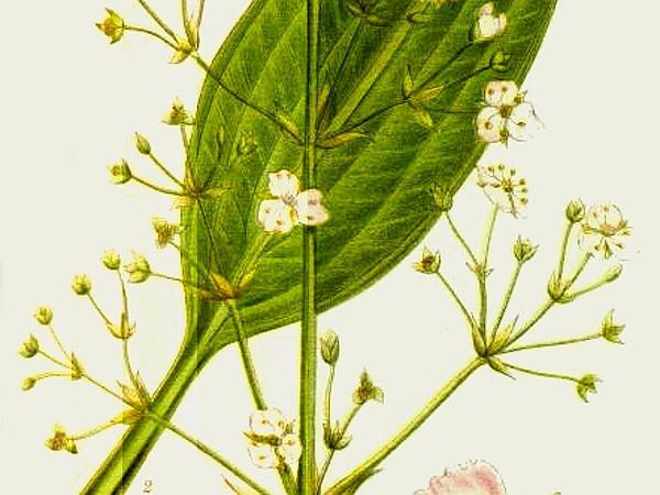 Water Plantain (Alisma) https://www.sagebud.com/water-plantain-alisma
