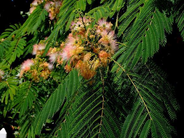Silktree (Albizia Julibrissin) https://www.sagebud.com/silktree-albizia-julibrissin