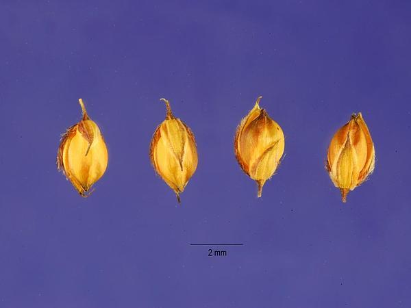 Summergrass (Alloteropsis) https://www.sagebud.com/summergrass-alloteropsis