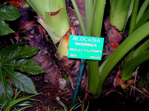 Giant Taro (Alocasia Macrorrhizos) https://www.sagebud.com/giant-taro-alocasia-macrorrhizos/