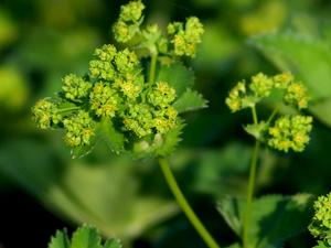 Hairy Lady's Mantle