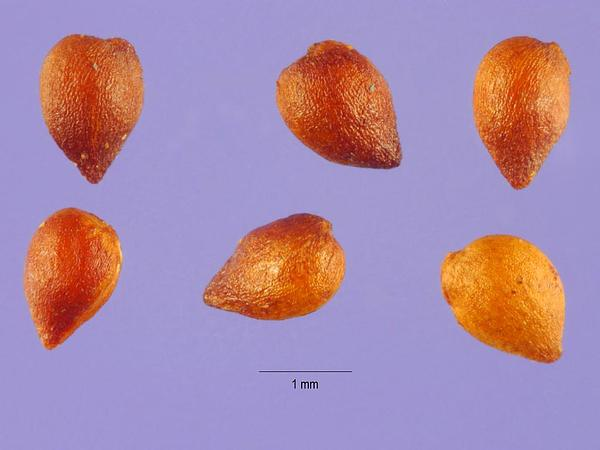 Hairy Lady's Mantle (Alchemilla Monticola) https://www.sagebud.com/hairy-ladys-mantle-alchemilla-monticola