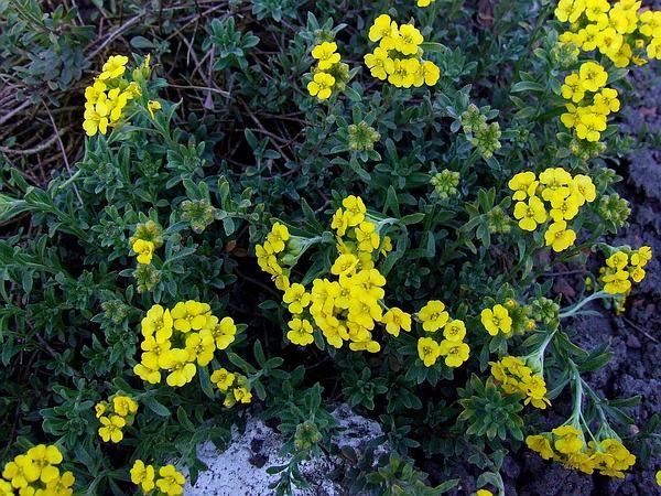 Yellowtuft (Alyssum Murale) https://www.sagebud.com/yellowtuft-alyssum-murale