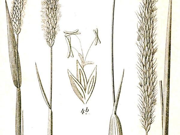 Slender Meadow Foxtail (Alopecurus Myosuroides) https://www.sagebud.com/slender-meadow-foxtail-alopecurus-myosuroides