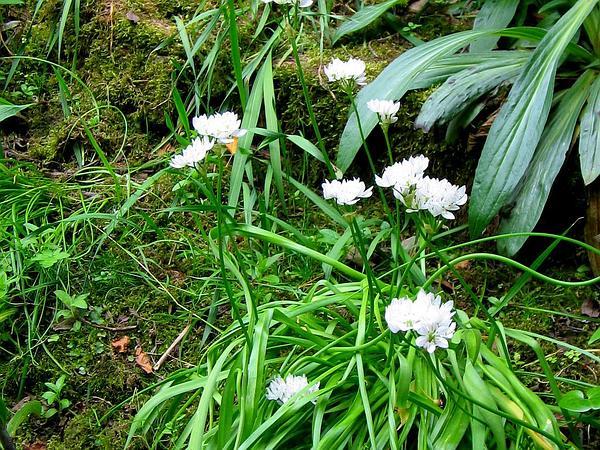 White Garlic (Allium Neapolitanum) https://www.sagebud.com/white-garlic-allium-neapolitanum