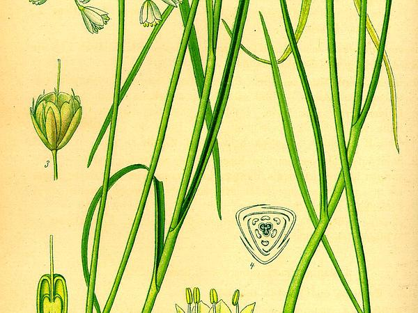 Field Garlic (Allium Oleraceum) https://www.sagebud.com/field-garlic-allium-oleraceum/