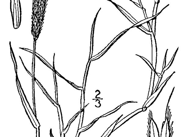 Foxtail (Alopecurus) https://www.sagebud.com/foxtail-alopecurus/