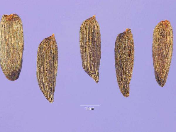 Garlic Mustard (Alliaria Petiolata) https://www.sagebud.com/garlic-mustard-alliaria-petiolata
