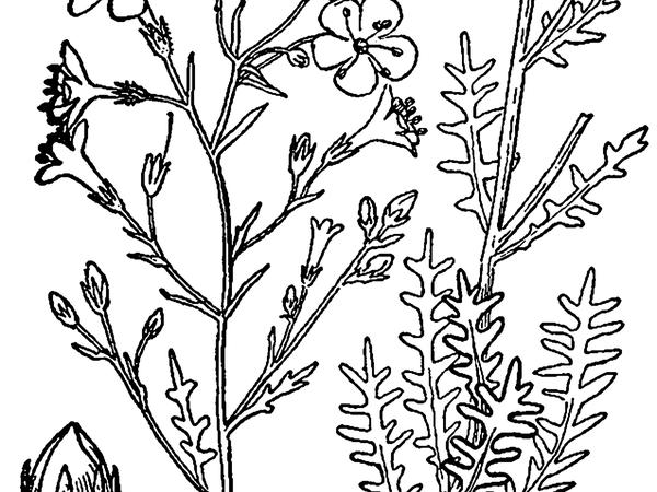 Sticky Gilia (Aliciella Pinnatifida) https://www.sagebud.com/sticky-gilia-aliciella-pinnatifida