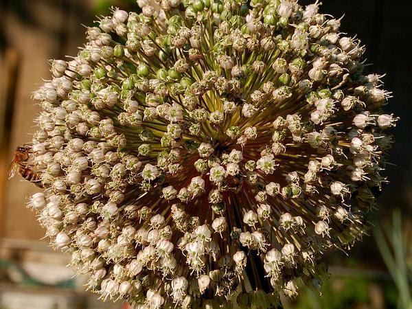 Garden Leek (Allium Porrum) https://www.sagebud.com/garden-leek-allium-porrum