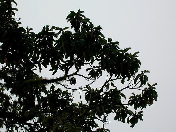 Hawai'I Kauilatree (Alphitonia Ponderosa) https://www.sagebud.com/hawaii-kauilatree-alphitonia-ponderosa