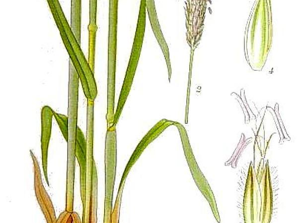 Meadow Foxtail (Alopecurus Pratensis) https://www.sagebud.com/meadow-foxtail-alopecurus-pratensis