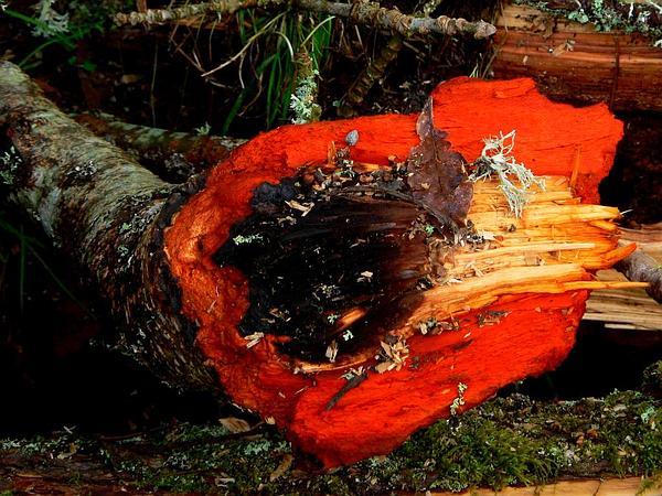 Red Alder (Alnus Rubra) https://www.sagebud.com/red-alder-alnus-rubra