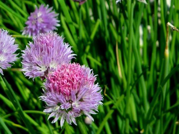 Wild Chives (Allium Schoenoprasum) https://www.sagebud.com/wild-chives-allium-schoenoprasum