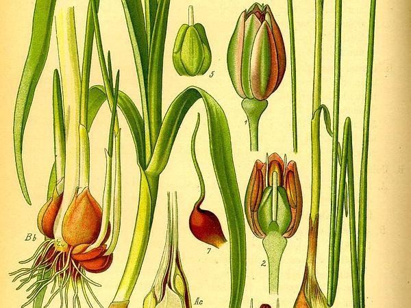 Sand Leek (Allium Scorodoprasum) https://www.sagebud.com/sand-leek-allium-scorodoprasum