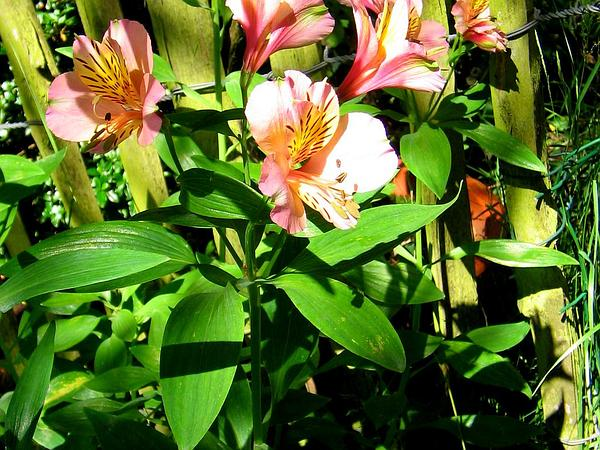 Lily Of The Incas (Alstroemeria) https://www.sagebud.com/lily-of-the-incas-alstroemeria/