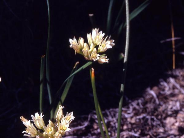Textile Onion (Allium Textile) https://www.sagebud.com/textile-onion-allium-textile