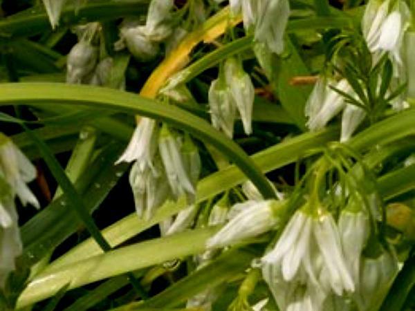 Threecorner Leek (Allium Triquetrum) https://www.sagebud.com/threecorner-leek-allium-triquetrum
