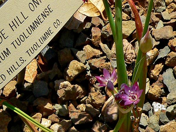 Rawhide Hill Onion (Allium Tuolumnense) https://www.sagebud.com/rawhide-hill-onion-allium-tuolumnense