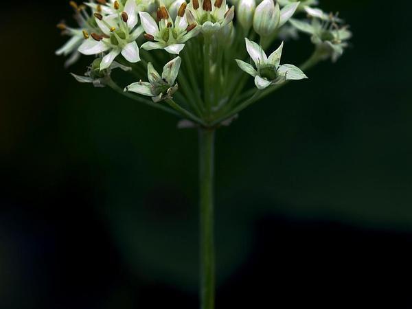 Chinese Chives (Allium Tuberosum) https://www.sagebud.com/chinese-chives-allium-tuberosum