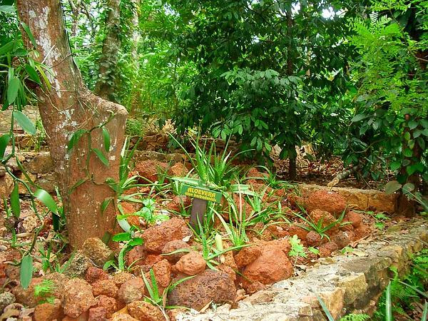 Barbados Aloe (Aloe Vera) https://www.sagebud.com/barbados-aloe-aloe-vera
