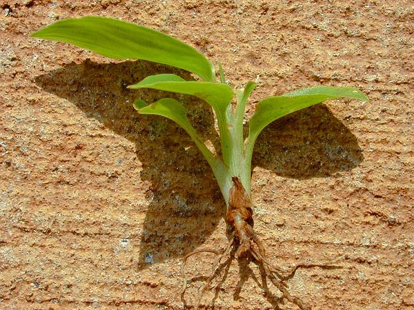 Shellplant (Alpinia Zerumbet) https://www.sagebud.com/shellplant-alpinia-zerumbet