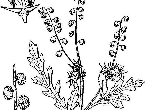 Flatspine Bur Ragweed (Ambrosia Acanthicarpa) https://www.sagebud.com/flatspine-bur-ragweed-ambrosia-acanthicarpa/