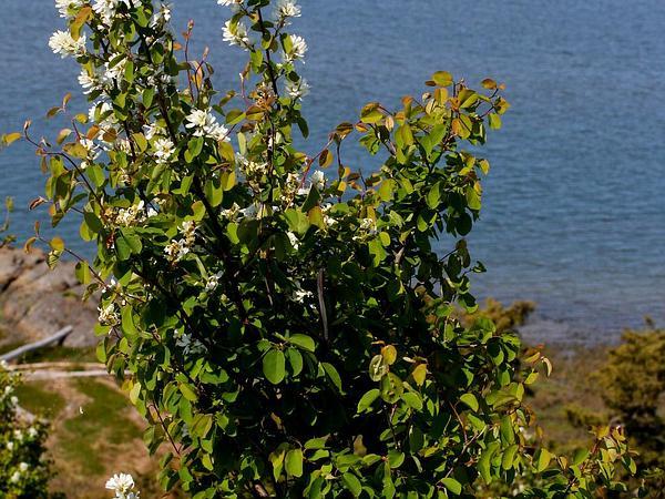 Saskatoon Serviceberry (Amelanchier Alnifolia) https://www.sagebud.com/saskatoon-serviceberry-amelanchier-alnifolia