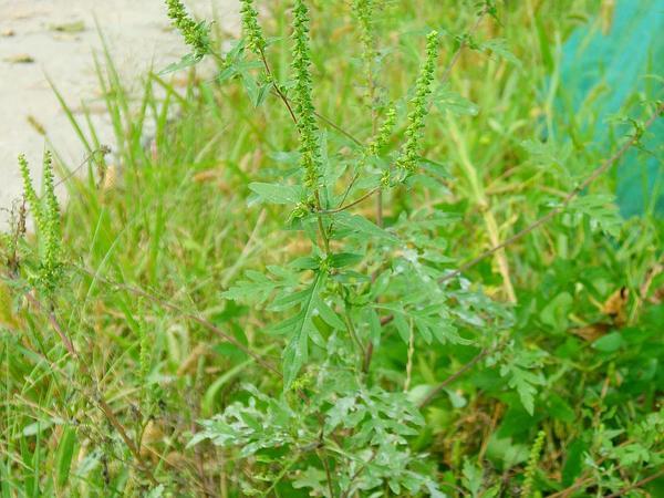 Annual Ragweed (Ambrosia Artemisiifolia) https://www.sagebud.com/annual-ragweed-ambrosia-artemisiifolia