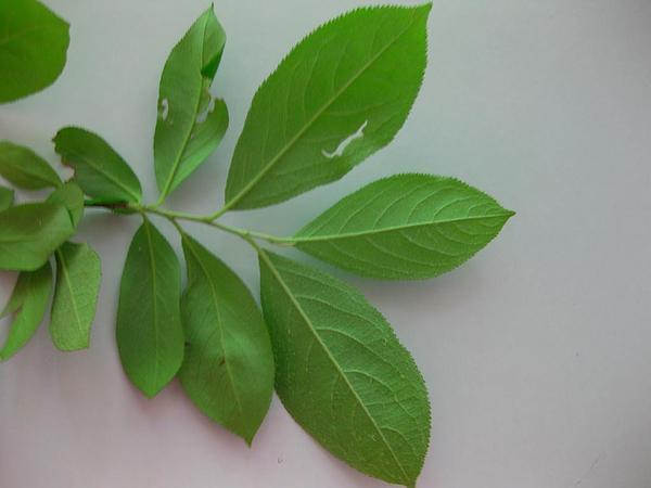 Common Serviceberry (Amelanchier Arborea) https://www.sagebud.com/common-serviceberry-amelanchier-arborea/